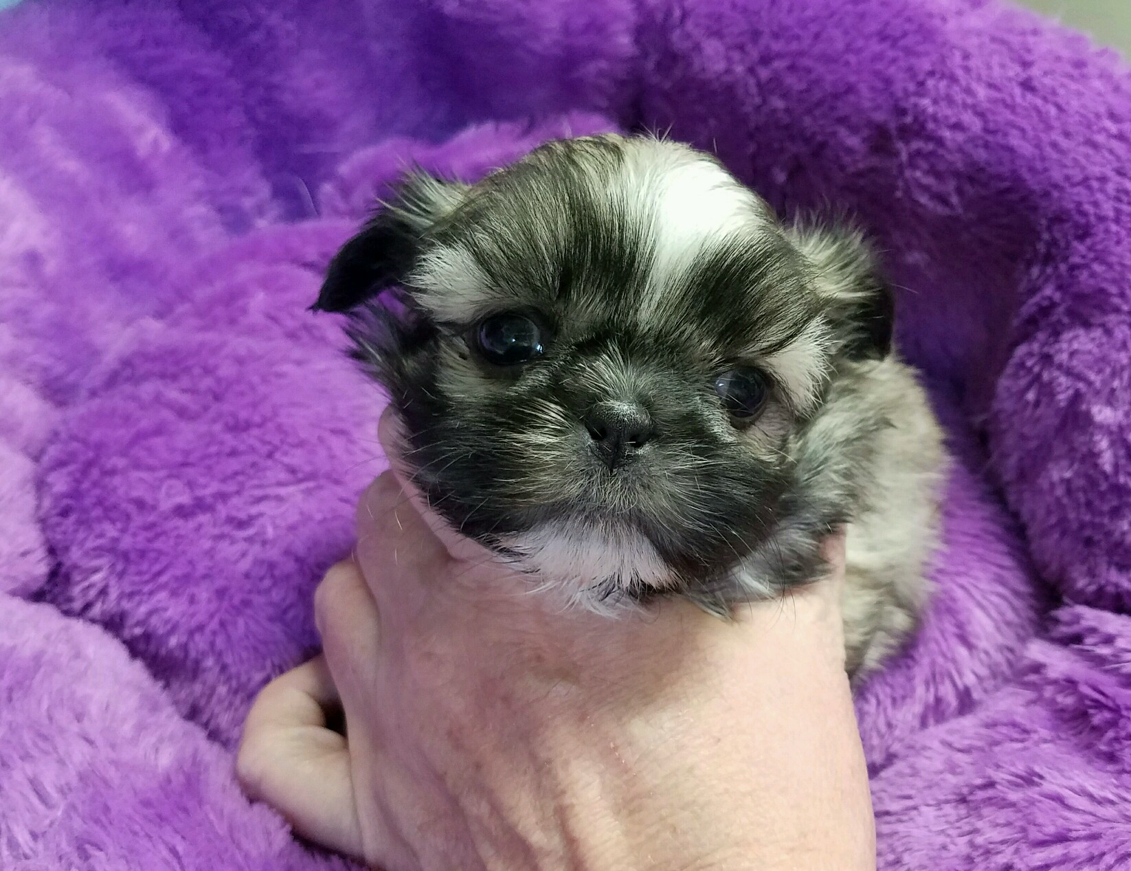 Adopted Reuben Pale Gold Boy With Black Mask Tomorrow Shih Tzu